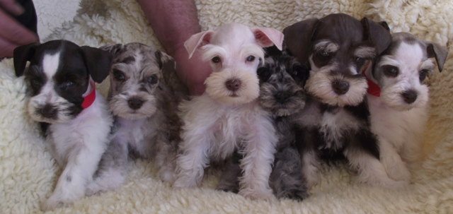 Miniature schnauzer puppies in alabama